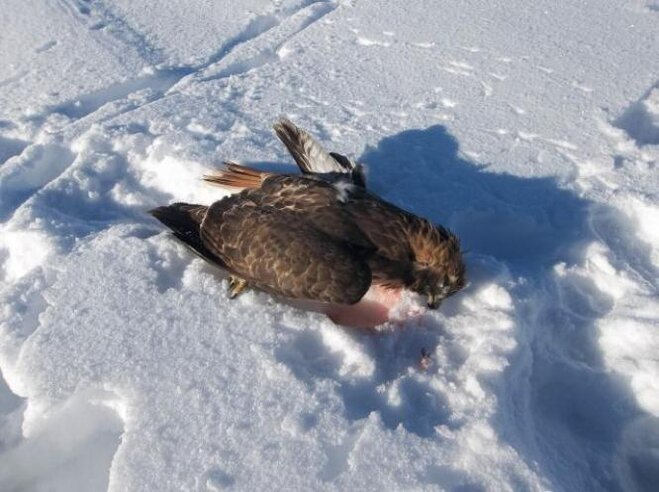 Teen charged with killing red-tail hawk