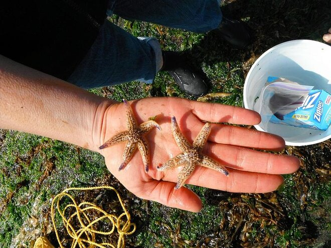 Sea stars found inside tsunami dock