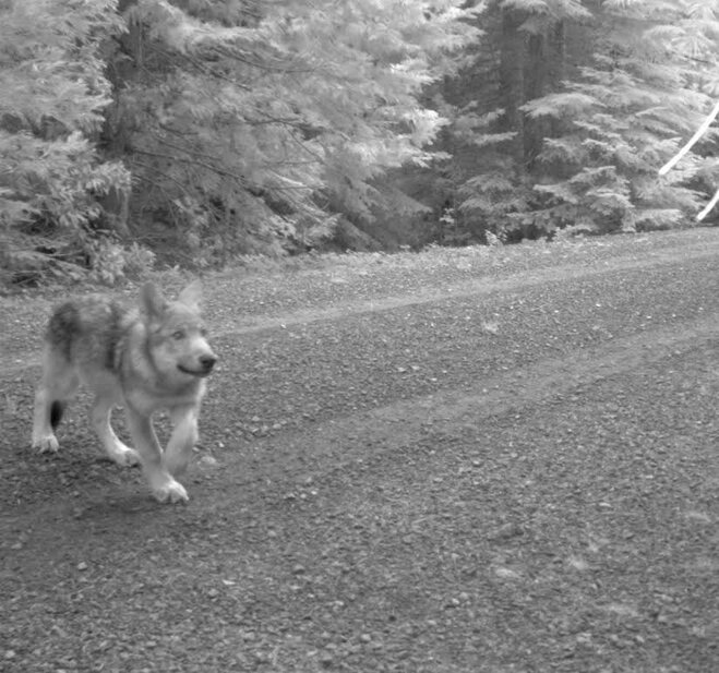 New photos show wandering wolf OR-7 has 3 pups