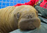 Walrus Calf