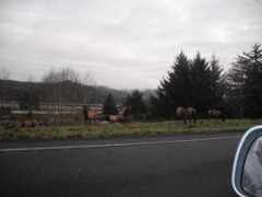 Elk in Walport, Or