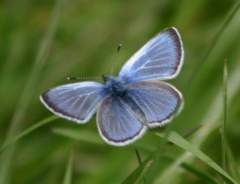 Fender's Blue Butterflies - endangered