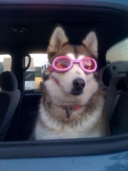 Willow needs goggles for car rides.