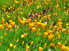 California Golden Poppies in Thurston