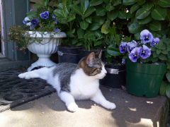 My Cat Enjoying the Pansies
