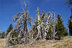 Crater Lake Pine Beetles