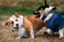 2014 Pacific Northwest Corgi Picnic