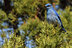 Mountain Bluebird near Hampton Butte - Ryan Franklin