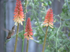 Humming Birds in the Morning