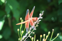 Vibrant Dragonfly visits our pond!