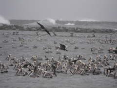 Stormy Seas Force Pelicans Inland
