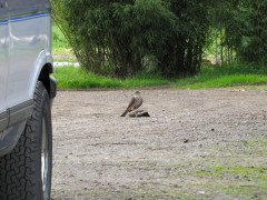 Sharp-shinned Hawk takes out Jay: Eugene