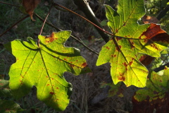 Leaves changing their colors, in the sun