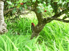 Bird in the holly bush, Veneta