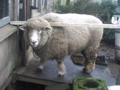 Herman, a Sheep or a kid??