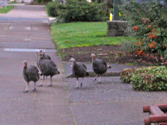 Turkeys on 11th on Tuesday morning