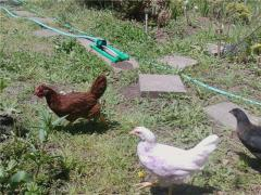 free range chickens on the run