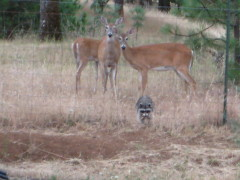 raccoon and deer sharing food