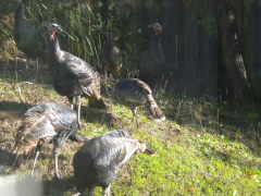 ATTACK OF THE TURKEYS!!