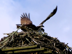 Nesting Osprey on Royal Ave.