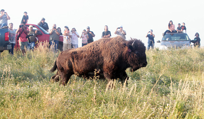 Bison released