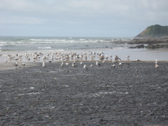 Gulls Feeding at Stonefield Beach