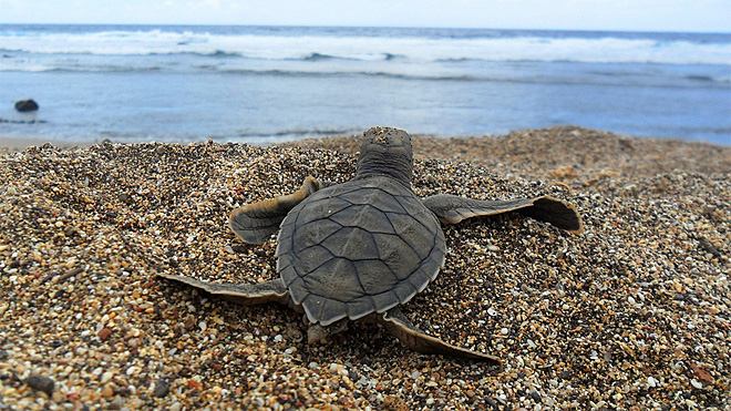 Sea turtle 'lost years' frustrate researchers