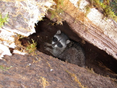 Raccoon trapped in fallen tree