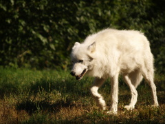 White Wolves in Oregon