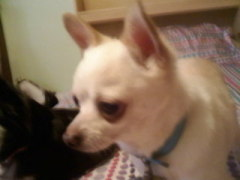 Lost Chihuahua in Junction City