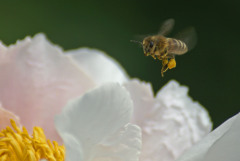 Busy Bee on a Peony