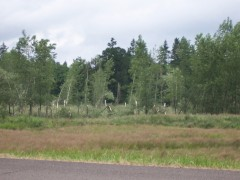 Damaged Poplars in Veneta