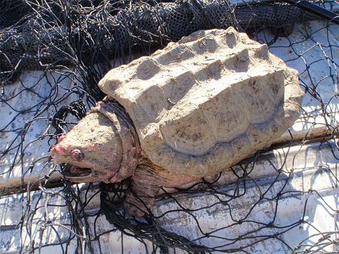 Alligator Snapping Turtle caught in Prineville Reservoir 01