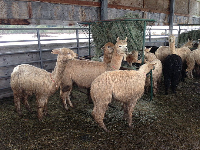 Rescued alpaca herd recovering at OSU