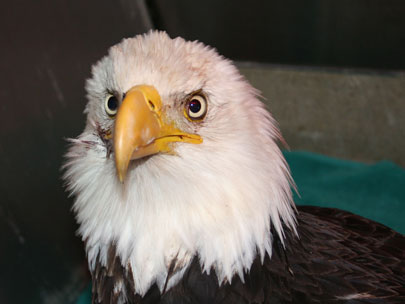 Injured bald eagle found in McMinnville