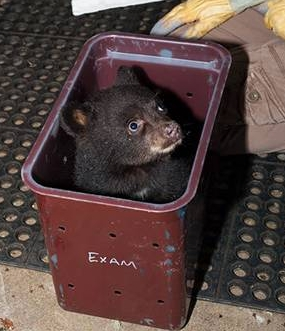 Bear cub found along road near Corvallis in 2012
