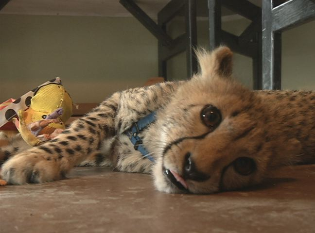 Winston's Wildlife Safari home to three new baby Cheetahs