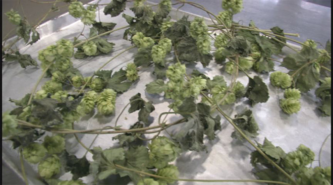 Could hops help fight cancer?