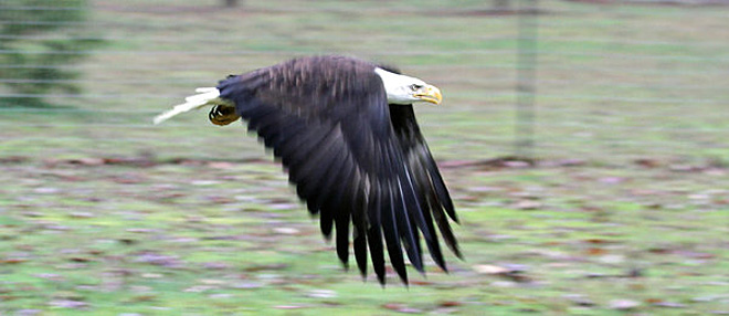 Battling bald eagles found near Dexter: 'They are nasty fighters'