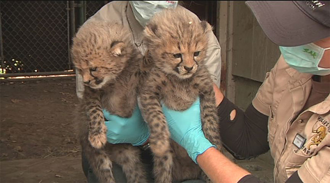 'Get a chance to name one of the cheetah cubs'