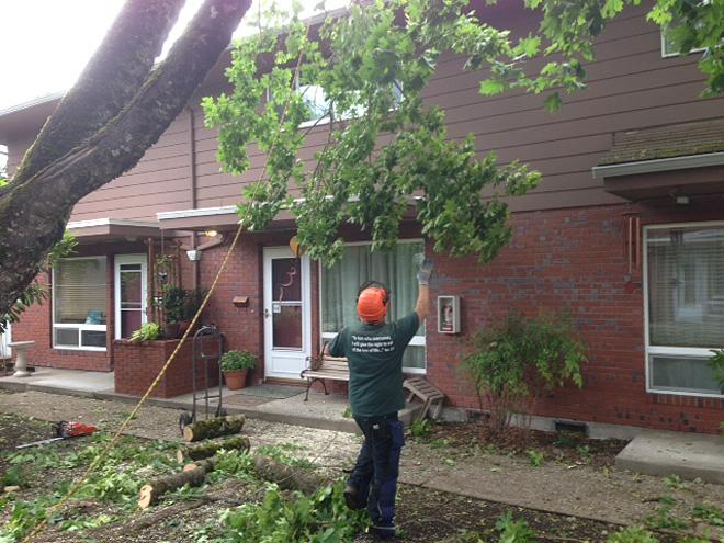 Condo complex divided over decision to cut tree 04