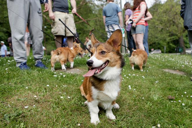 Corgi Meet up
