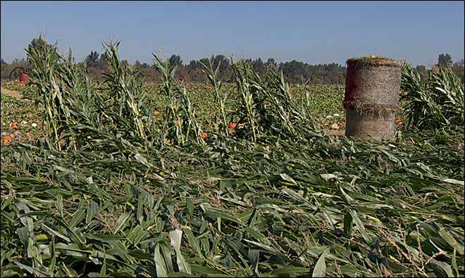 Recent storms wrecked some Willamette Valley corn mazes