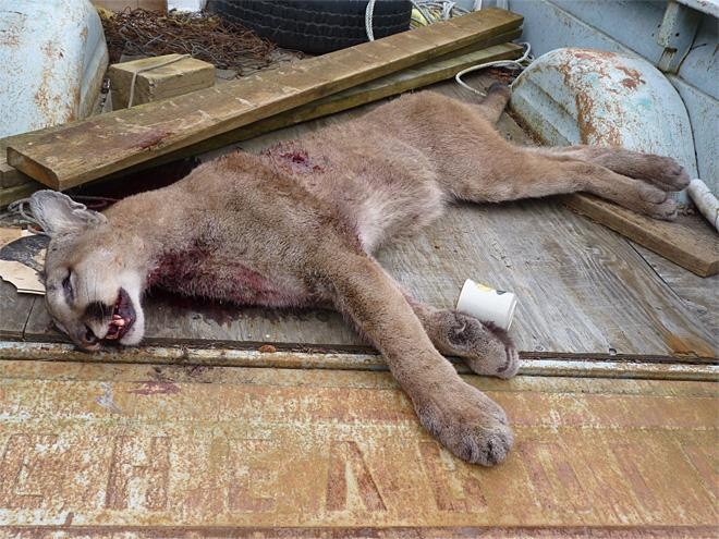 Cougar that killed an emu in North Bend (1)
