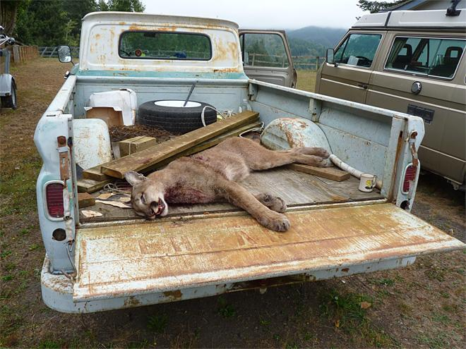 Cougar that killed an emu in North Bend (2)