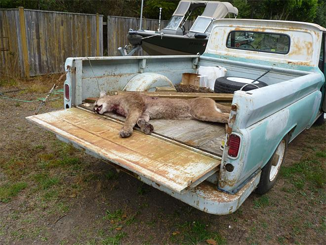 Cougar that killed an emu in North Bend (3)