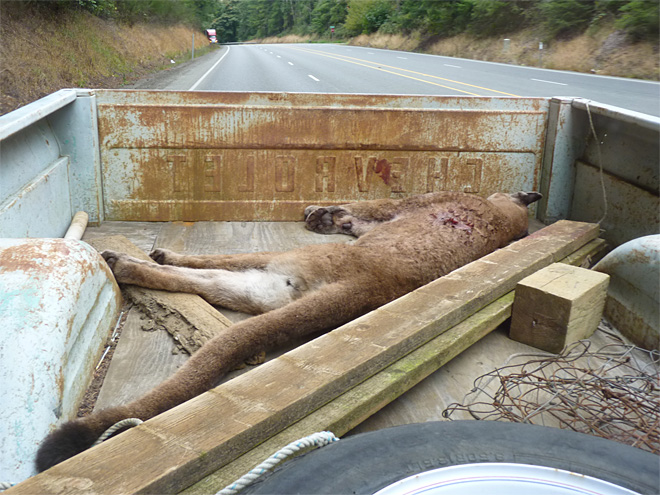 Cougar that killed an emu in North Bend