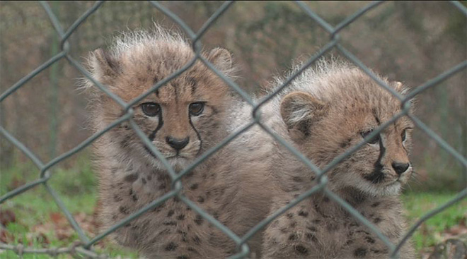 Cheetah cub named after woman's son killed in car crash