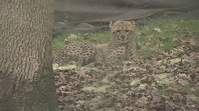 Cheetah cubs now out for the public to see