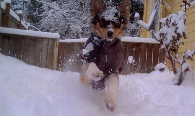 Einstein the Australian Shepherd captured in action during her first snow - Photo from Fey Egan